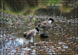 Canada Geese by LynEve, photography->birds gallery
