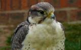 Lugger Falcon take 2 by gonedigital, Photography->Birds gallery