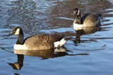 Winter In The Park - Canada Geese by LynEve, photography->birds gallery