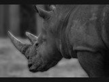 Rhino by isaacp, Photography->Animals gallery