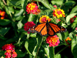monarch by jeenie11, Photography->Butterflies gallery