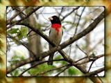 Pheucticus ludovicianus by Hottrockin, Photography->Birds gallery