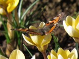 First one this year by owldgirl, photography->butterflies gallery