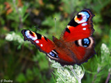 Peacock butterfly by Junglegeorge, Photography->Butterflies gallery