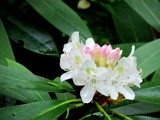 Rhododendron by Pistos, photography->flowers gallery