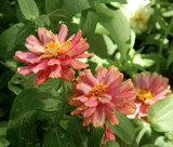 Hidden Zinnia by trixxie17, photography->flowers gallery