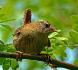 Wren by biffobear, photography->birds gallery
