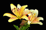 Pair of Lilies by Ramad, photography->flowers gallery