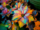 Psychedelic Poinsettia by Pistos, photography->flowers gallery