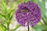 Allium by Ramad, photography->flowers gallery