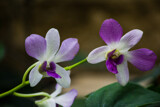 Lavender Orchids by Pistos, photography->flowers gallery