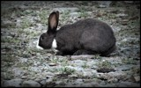 RABBIT #1 by GIGIBL, photography->animals gallery
