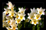 Spring Garden - Freesias by LynEve, photography->flowers gallery