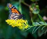Monarch on Goldenrod by Pistos, photography->butterflies gallery