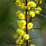 Wattle by Samatar, photography->flowers gallery