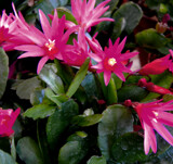 Another Easter Cactus by trixxie17, photography->flowers gallery