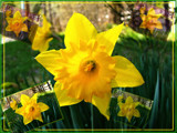 Daffodil Thrill by Flmngseabass, Photography->Flowers gallery