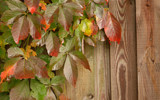 Autumn Creeper by Cyberbod, photography->nature gallery