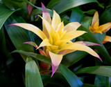 Another Bromeliad by trixxie17, photography->flowers gallery