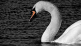 Swan In B&W ? 4 by braces, contests->b/w challenge gallery