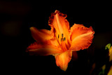 Romancing the Lily _ A Friday Foofy  by tigger3, Photography->Flowers gallery
