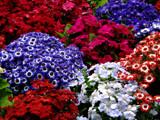 Painted Daisies by CanoeGuru, Photography->Flowers gallery