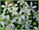 Irish Foofies by trixxie17, photography->flowers gallery