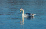 Swan Lake_Second Posting by tigger3, photography->birds gallery