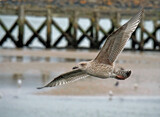 Juvenile gull by biffobear, photography->birds gallery