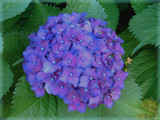 Blue Hydrangea , A Southern Charm by connodado, Photography->Flowers gallery