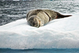 Alone On His Bed of Ice by jeenie11, photography->animals gallery
