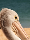 pelican by timpopelier, Photography->Birds gallery