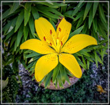 Lilium Asiatica by Flmngseabass, photography->flowers gallery