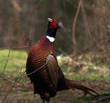 Strutting his stuff by biffobear, photography->birds gallery