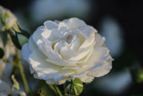 White Rose by Pistos, photography->flowers gallery