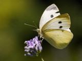 butterfly #2 by kodo34, Photography->Butterflies gallery