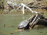 Turtles Sunning by ccmerino, photography->reptiles/amphibians gallery