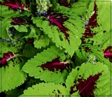 Coleus in Flower by trixxie17, photography->flowers gallery