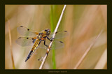 Golden Dragon by kodo34, Photography->Insects/Spiders gallery