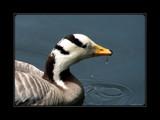 Ducks Unlimited V by Hottrockin, Photography->Birds gallery
