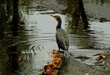 Cormorant by biffobear, photography->birds gallery