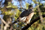 Hawk season 2011 by J_E_F, photography->birds gallery