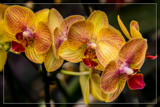 FF Orchids 12 by corngrowth, photography->flowers gallery