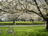 Cherry Tree Infinity by K9srule, photography->landscape gallery