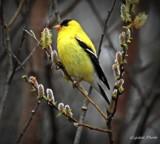 Chardonneret by GIGIBL, photography->birds gallery