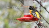 An Oriole at The Hummingbird Feeder by tigger3, photography->birds gallery