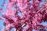 Redbud blooms II by BarnArt, photography->flowers gallery