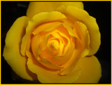 yellow rose by ccmerino, photography->flowers gallery