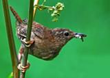 Jenny Wren by biffobear, photography->birds gallery