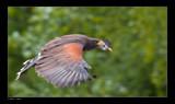 In Flight III by kodo34, Photography->Birds gallery